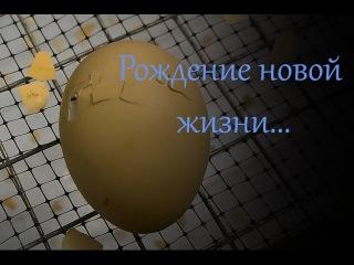 Рождение новой жизни в инкубаторе Блиц Норма Деревенские радости