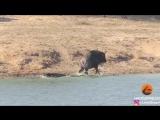 Два бегемота напали на крокодила, чтобы спасти антилопу.