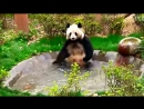Смешные панды очень до слез