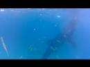плавание с китовыми акулами на филиппинах