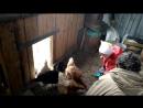 Алина кормит курочек