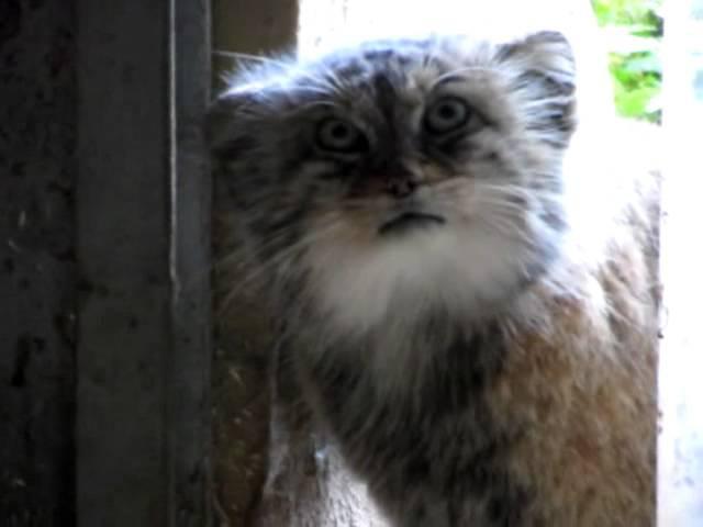 Миссис Манул сунула любопытный нос - Зоопарк Саарбрюккена. [Manul103].