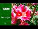 Годеция 🌼 Цветы уход и выращивание из семян 🌼 сад и огород с hitsadtv