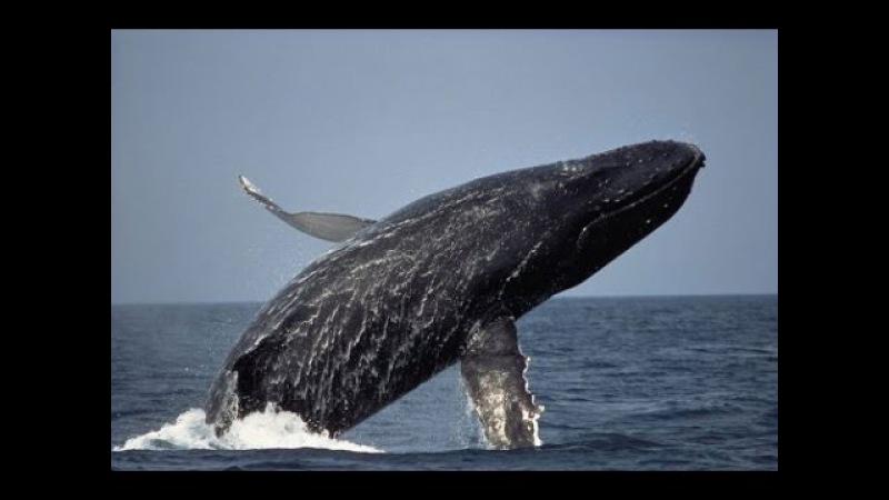 Освобождение кита. Спасение и Благодарность