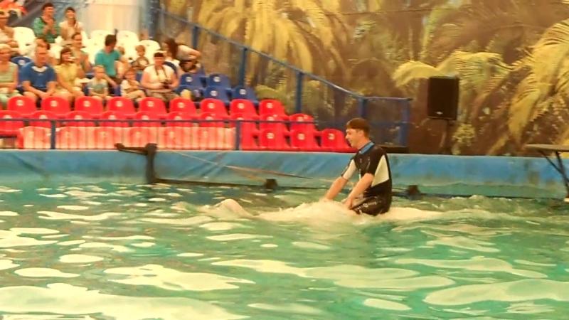 Белый кит Гоша катает тренера и с ним кружиться