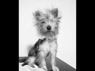 #йорик#yorkieboy#йоркширскийтерьер#albus#dog#instapuppy#dogstagram#doglover#pet#собакадругчеловека#любимка#бу#Бус#💕🐕