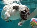 Funny Pug swimming in the pool. Мопс купается в бассейне.