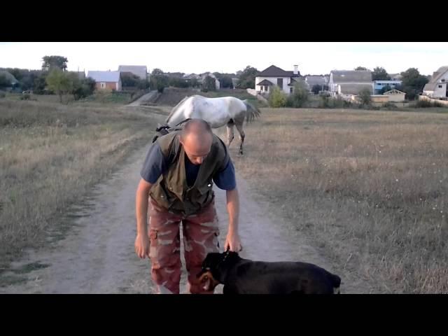 Воспитание щенка ротвейлера (отвлечение щенка ротвейлера от раздражителей путем мотивации)