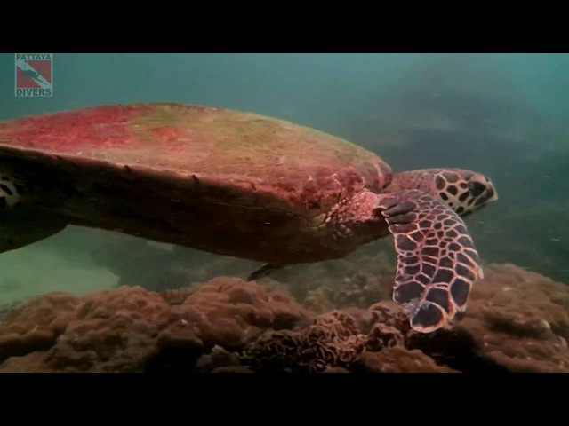 Дайвинг у острова Ко Сак Рыба ёж и черепаха Diving at Koh Sak Island Pufferfish Pufferdiver