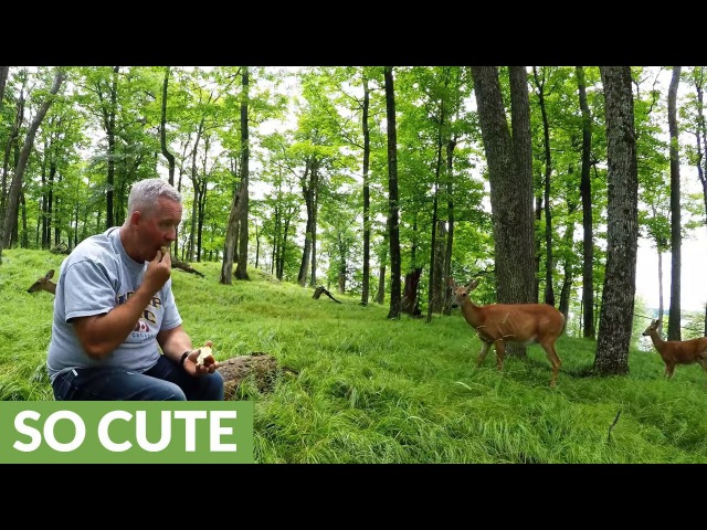 Deer brings fawns from the forest to share apples