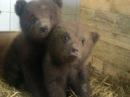 Под Петербургом спасают медвежат, медведицу убили охотники