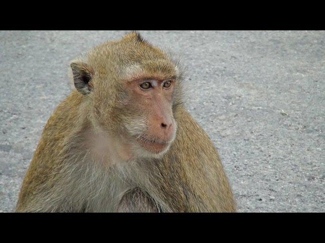 Гора обезьян в Банг Саен. Khao sam muk in Bang Saen