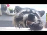 Смешные еноты - приколы и интересное видео. Лучшие приколы с енотами - няшками