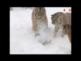 Амурские тигры в китайском зоопарке