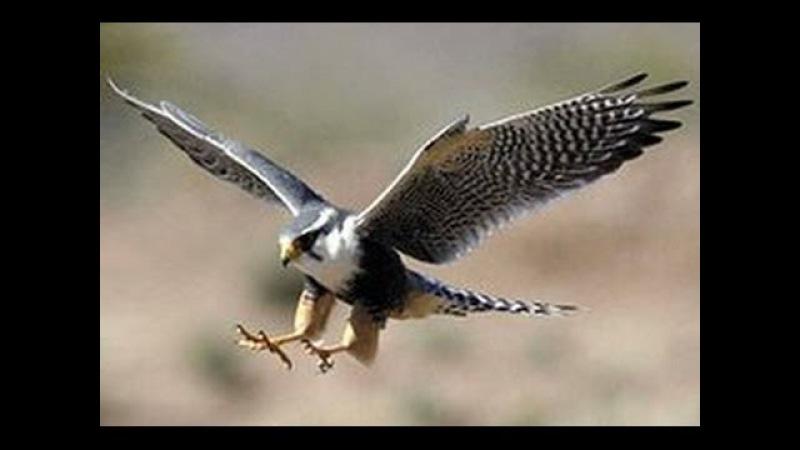 Хищные птицы. Сокол Сапсан. Документальный фильм National Geographic.