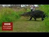 Фо Флориде засняли гигантского аллигатора