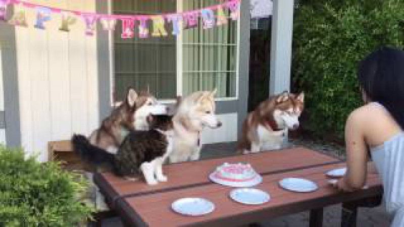 Celebrating Birthdays with Rosie and the Husky Pack!