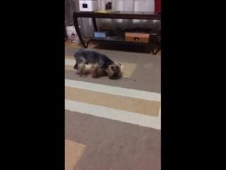 Собака ищейка
