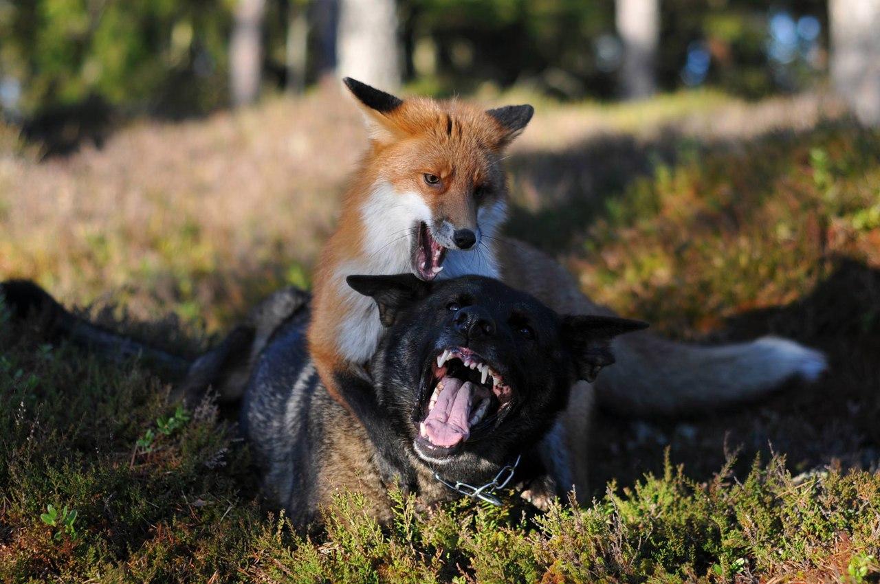 В Ростовской области бешеная лиса напала на сторожевого пса