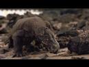 Комодский варан - доисторический каннибал.
