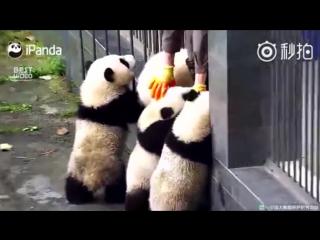 Четыре панды при помощи командной работы пытаютсся сбежать