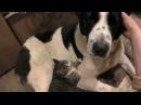 Funny Animals - Cats and Dogs, videos3 Кошка делает что хочет.