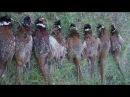 Охота на фазана с легавыми собаками подборка моментов