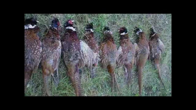Охота на фазана с легавыми собаками (подборка моментов)
