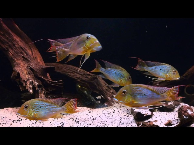 South American Biotope - Geophagus altifrons