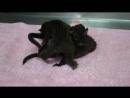 Новорождённые циветты просят поесть