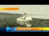 Невероятное видео спасательной операции замерзающих в Москве лебедей (online-video-cutter.com)