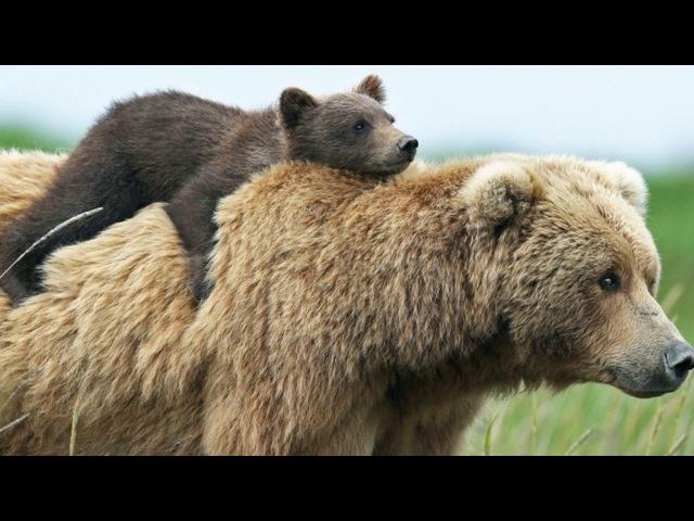 Стихи. Эдуард Асадов. Медвежонок.