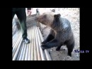 русские приколы. русские медведи.