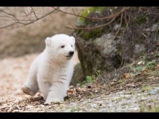 Белого медвежонка впервые вывели на прогулку в Мюнхене