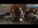 Єноти завжди перед вживанням миють іжу, але солодка вата переграла,єнот в шоці.