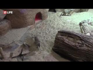 Один день из жизни сурикатов в зоопарке
