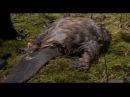 Весенняя охота на бобра