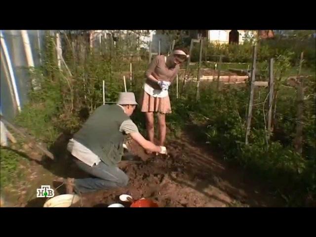 Садовые хитрости - как правильно сажать яблоню (Солнечно. Без осадков, НТВ)