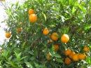Турецкие апельсины лимоны и цветущие гранаты май 2017