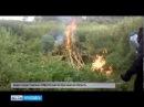 В Некрасовском районе уничтожена плантация конопли