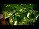 Моя домашняя оранжерея Араукария