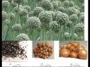 Лук - чернушка - Подзимний посев и весенний результат