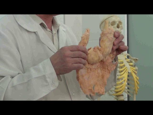 Пищеварительная система. Покрытие брыжекой органов брюшной полости.