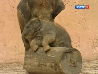 staroetv.su / Путешествия натуралиста (Культура, 2006) Ганновер. Шоу слонов