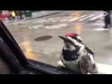 a woodpecker hitched a ride on the side of this mans car during a rainy day in chicago