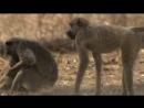 BBC Тайная жизнь приматов Бабуины 2 4