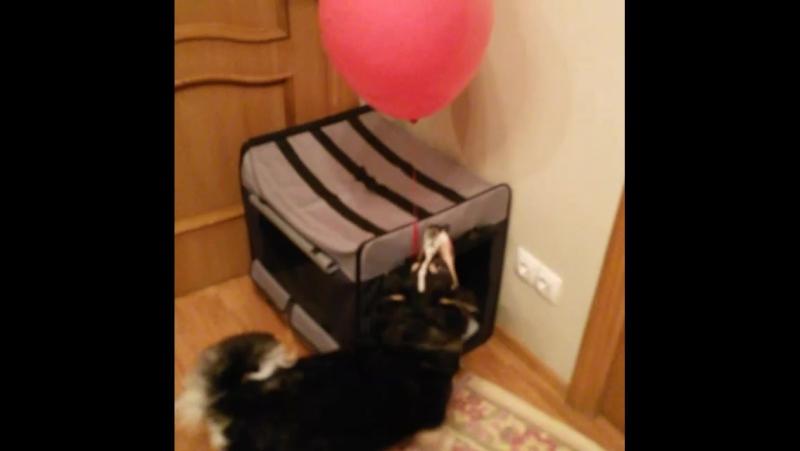 Наше мохнатое ЧУДО в День Валентина пытается затащить в свой домик шарик , который мы ей подарили 🐶🎉🏠