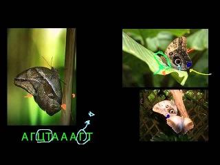 Естественный отбор и бабочка калиго