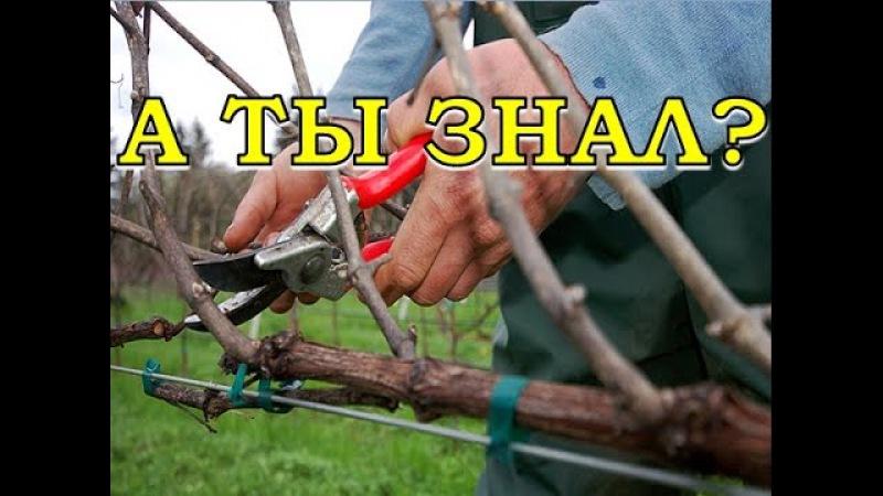 Обрезка винограда пошагово