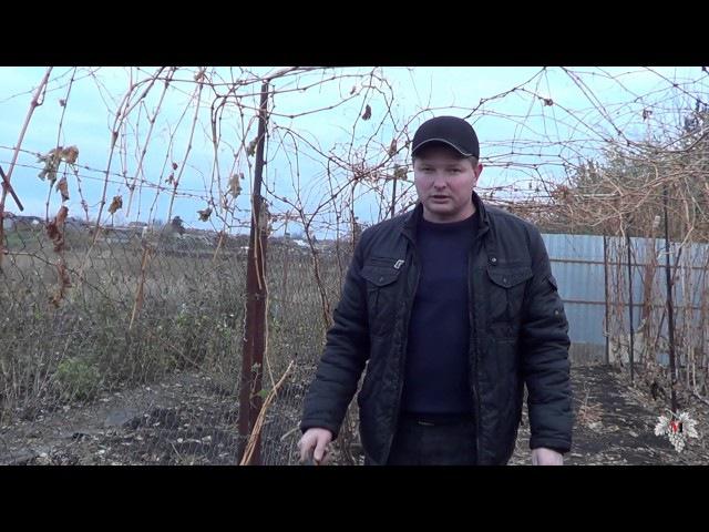 Обрезка виноградных кустов. Заготовка черенков (лозы). Виноград 2016.